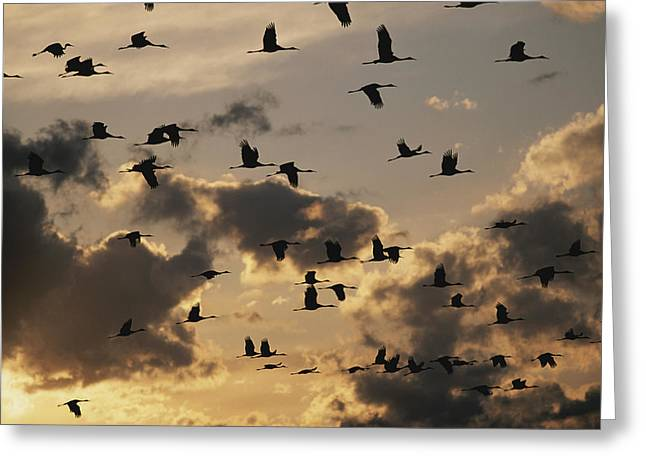 Animals In Action Greeting Cards - Sandhill Cranes Are Silhouetted Greeting Card by Stephen Alvarez