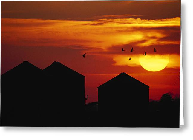 Sunset Scenes. Greeting Cards - Sandhill Cranes Fly Over Barns Greeting Card by Joel Sartore