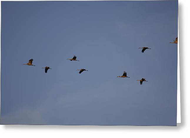 Crane Migration Greeting Cards - Sandhill Cranes Near Gibbon, Ne Greeting Card by Joel Sartore