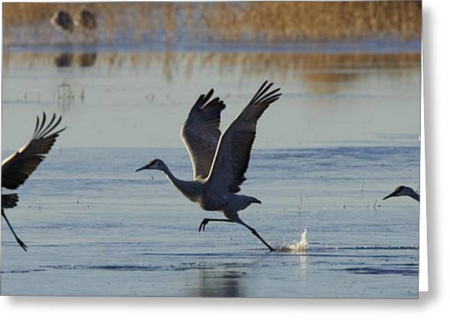 Flying Animal Greeting Cards - Sandhill Cranes Taking Flight Greeting Card by Ralph Lee Hopkins