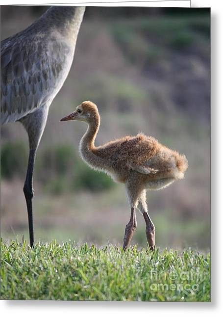 Sandhill Crane Chick Greeting Cards - Sandhill Teen Greeting Card by Carol Groenen