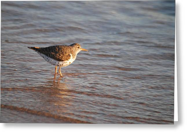 Sand Piper Greeting Cards - Sandpiper 4965 Greeting Card by Michael Peychich