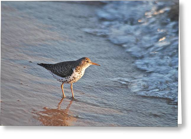 Sand Piper Greeting Cards - Sandpiper 4967 Greeting Card by Michael Peychich