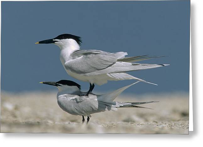 Sandwich Tern Couple Courting North Greeting Card by Tim Fitzharris