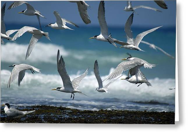 Tern Greeting Cards - Sandwich Terns And Swift Terns Greeting Card by Peter Chadwick