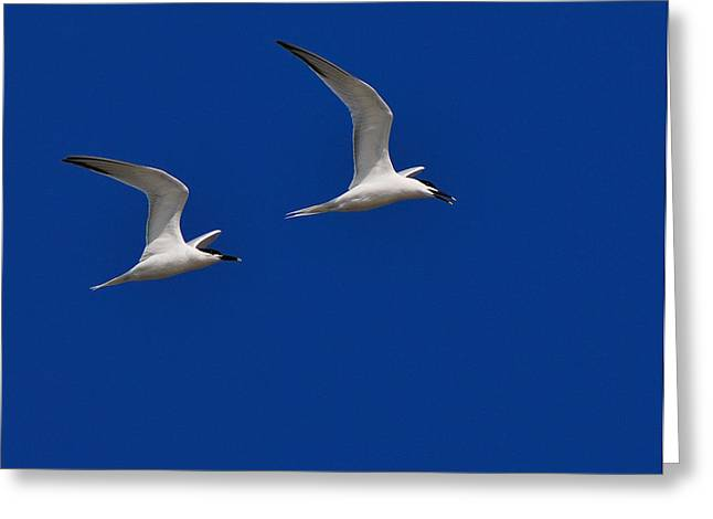 Tern Greeting Cards - Sandwich Terns Greeting Card by Tony Beck