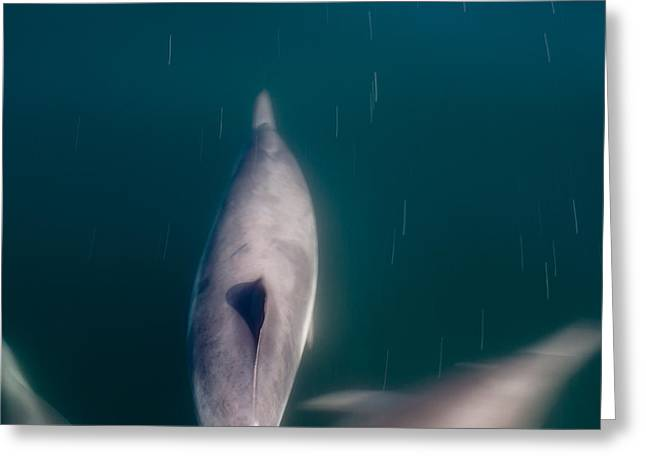 Up201209 Greeting Cards - Santa Barbara Dolphin Two Greeting Card by Josh Whalen