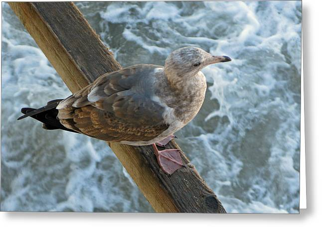 Santa  Monica  Seagull  At  Rest Greeting Card by Carl Deaville