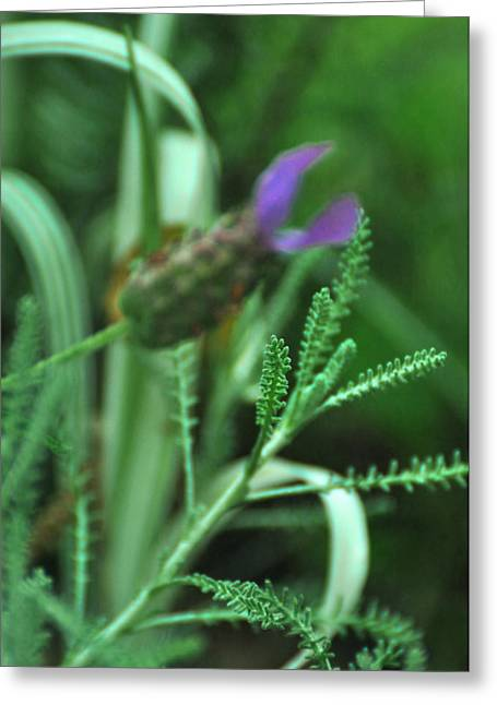 Pungent Greeting Cards - Santolina chamaecyparissus Lavender Cotton Greeting Card by Rebecca Sherman