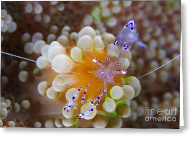 Pontoniinae Greeting Cards - Sarasvati Anemone Shrimp On Orange Greeting Card by Steve Jones