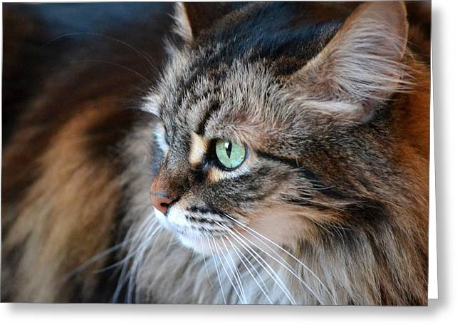 Maine Coon Greeting Cards - Sasha In Profile Greeting Card by Fraida Gutovich