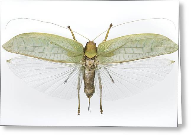 Katydid Greeting Cards - Sasima Katydid Greeting Card by Lawrence Lawry