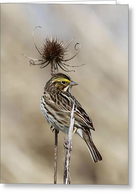 Wildlife Refuge. Greeting Cards - Savannah Sparrow Greeting Card by Angie Vogel