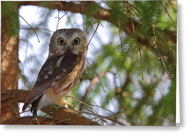 Saw Greeting Cards - Saw-whet Owl Greeting Card by Bruce J Robinson