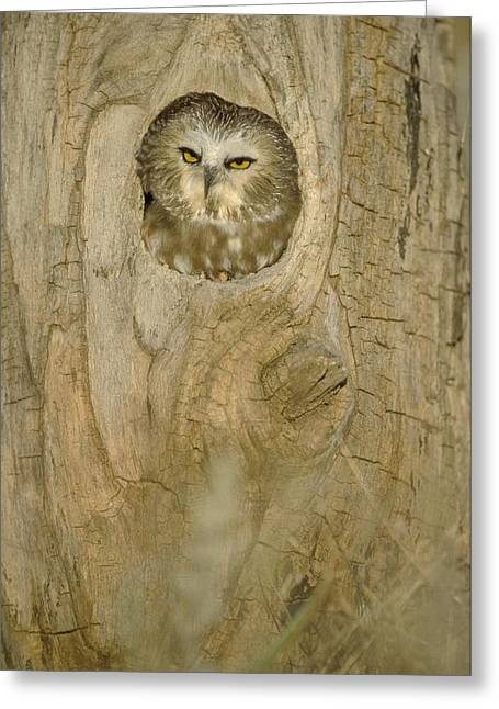 Saw Greeting Cards - Saw Whet Owl In Hollow Tree Greeting Card by John Pitcher