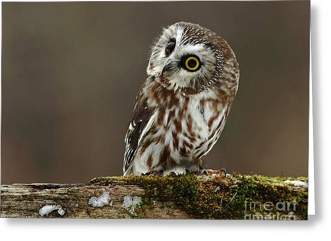 Saw Greeting Cards - Saw Whet Owl Watching a Winter Sunrise Greeting Card by Inspired Nature Photography By Shelley Myke
