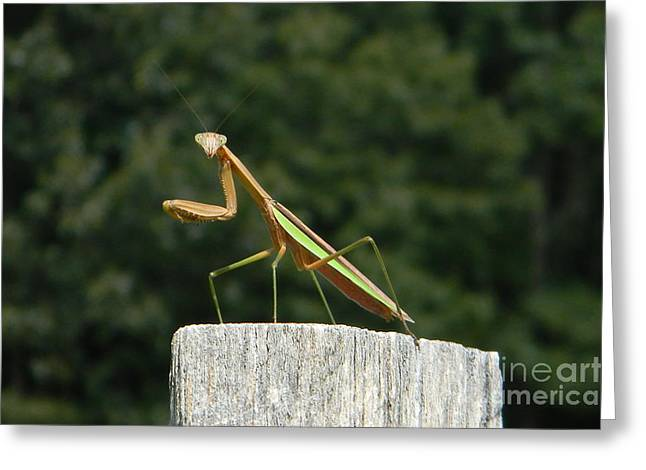 Prayingmantis Greeting Cards - Say Cheese Greeting Card by Gladys Steele