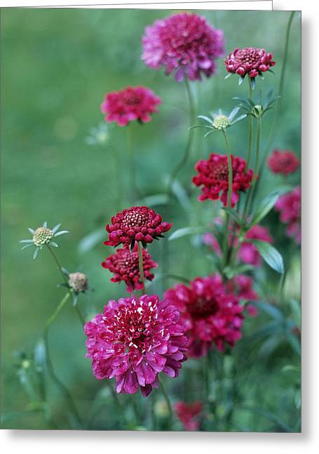 Pincushion Greeting Cards - Scabiosa Atropurpurea chile Pepper Greeting Card by Maxine Adcock