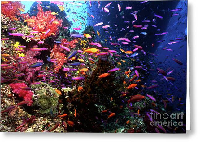 Undersea Photography Greeting Cards - Scalefin Anthias Fish In Coral Garden Greeting Card by Beverly Factor