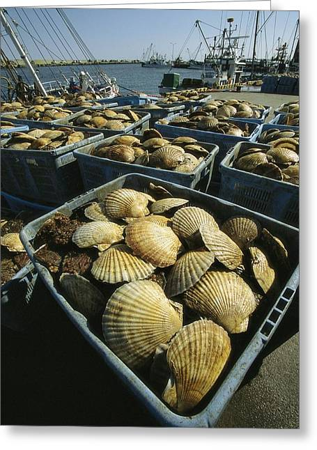 Food Industry And Production Greeting Cards - Scallop-filled Crates Stacked On An Greeting Card by Tim Laman