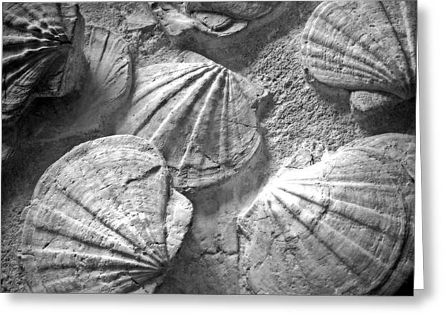 Fossilized Shell Greeting Cards - Scallops ... Greeting Card by Juergen Weiss