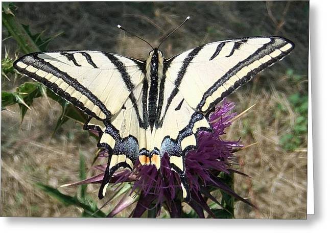 For Sale Pyrography Greeting Cards - Scarce Swallowtail Greeting Card by Eric Kempson
