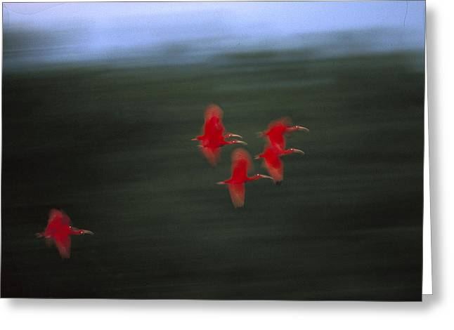 North Sea Greeting Cards - Scarlet Ibis Eudocimus Ruber Flock Greeting Card by Konrad Wothe