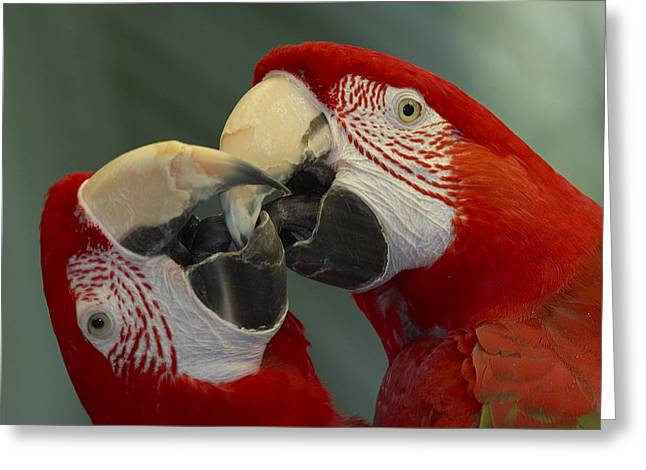 Scarlet Macaw Greeting Cards - Scarlet Macaw Ara Macao Pair Kissing Greeting Card by Zssd