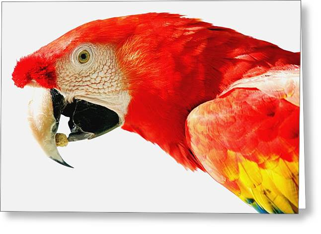 Clever Greeting Cards - Scarlet Macaw Greeting Card by Darren Greenwood