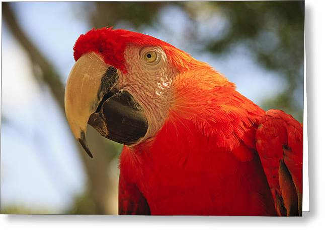 Theater Of The Sea Greeting Cards - Scarlet Macaw Parrot Greeting Card by Adam Romanowicz