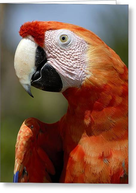 Johannesburg Greeting Cards - Scarlet Macaw Greeting Card by Peter Chadwick
