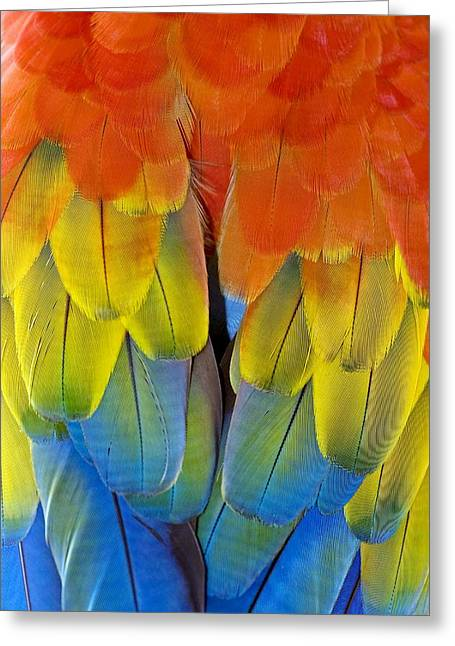 Coloured Plumage Greeting Cards - Scarlet Macaw Plumage Greeting Card by Tony Camacho