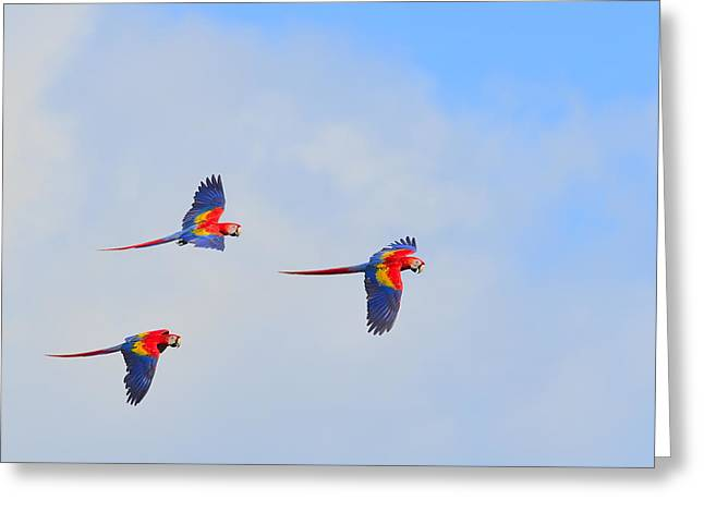 Macaw Greeting Cards - Scarlet Macaws Greeting Card by Tony Beck
