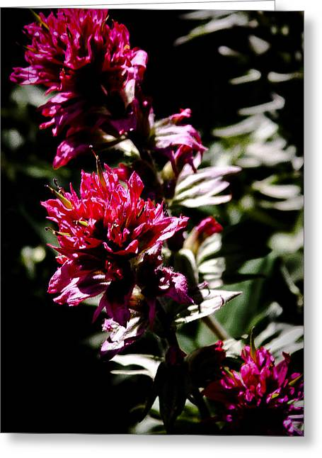 Spirea Greeting Cards - Scarlet Paintbrush Greeting Card by David Patterson