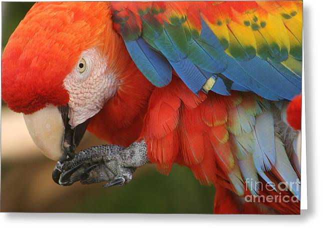Parrot Pyrography Greeting Cards - Scarlet Portrait Greeting Card by Valia Bradshaw