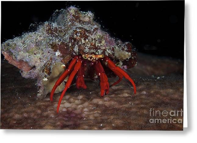 Decapoda Greeting Cards - Scarlet Reef Hermit Crab Peeks Greeting Card by Terry Moore