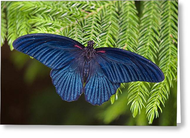Pine Needles Greeting Cards - Scarlet Swallowtail Greeting Card by Joann Vitali