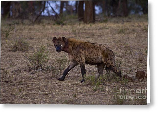 Glowing Eyes Greeting Cards - Scavenging Hyena Greeting Card by Scotts Scapes