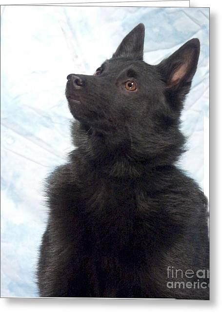 Dogs Digital Greeting Cards - Schipperke 938 Greeting Card by Larry Matthews