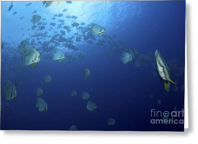 Spadefish Greeting Cards - School Of Batfish, Christmas Island Greeting Card by Mathieu Meur