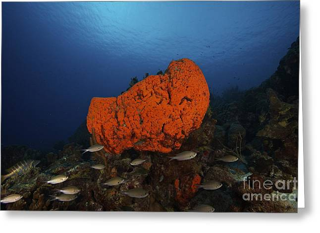 Undersea Photography Greeting Cards - School Of Brown Chromis Near A Large Greeting Card by Terry Moore