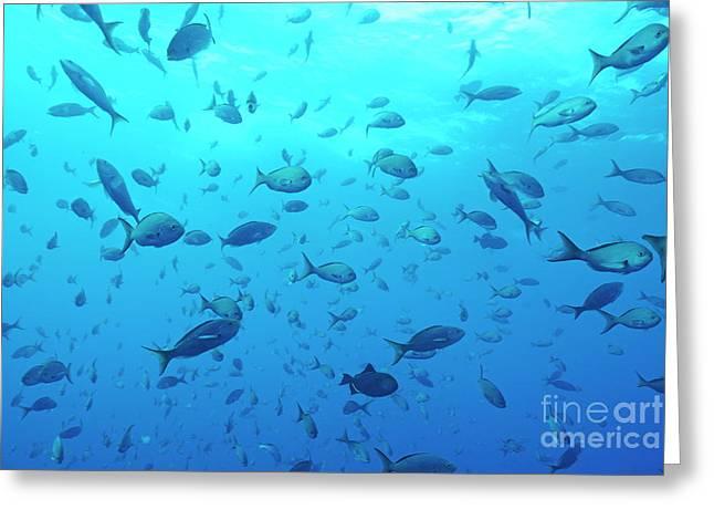 Grunts Greeting Cards - School of Grunt fish Greeting Card by Sami Sarkis