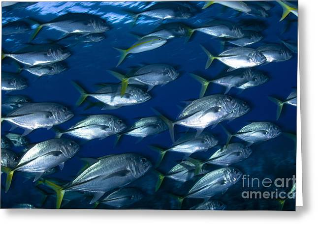 Osteichthyes Greeting Cards - School Of Jacks In Motion, Belize Greeting Card by Todd Winner