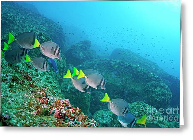 Surgeonfish Greeting Cards - School of Razor Surgeonfish on rocky seabed Greeting Card by Sami Sarkis