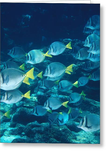 Schooling Greeting Cards - School Of Surgeonfish Cruising Reef Greeting Card by James Forte