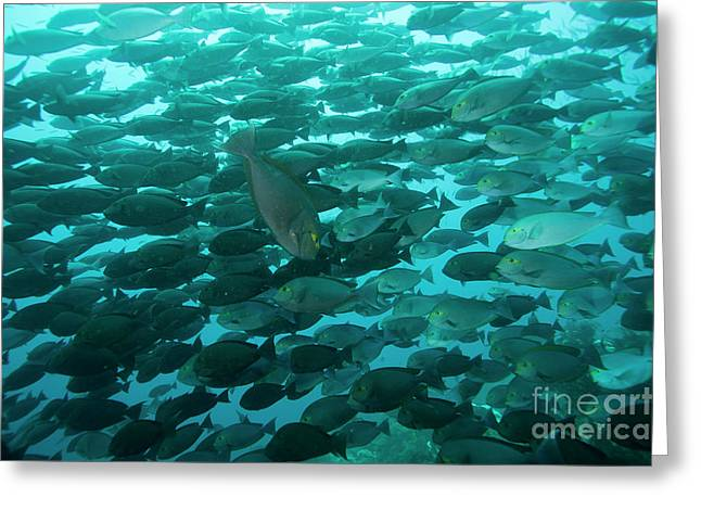 Surgeonfish Greeting Cards - School Of Yellow Mask Surgeonfish, Raja Greeting Card by Beverly Factor