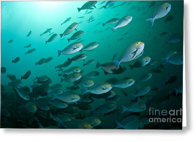 Surgeonfish Greeting Cards - School Of Yellow Masked Surgeonfish Greeting Card by Mathieu Meur