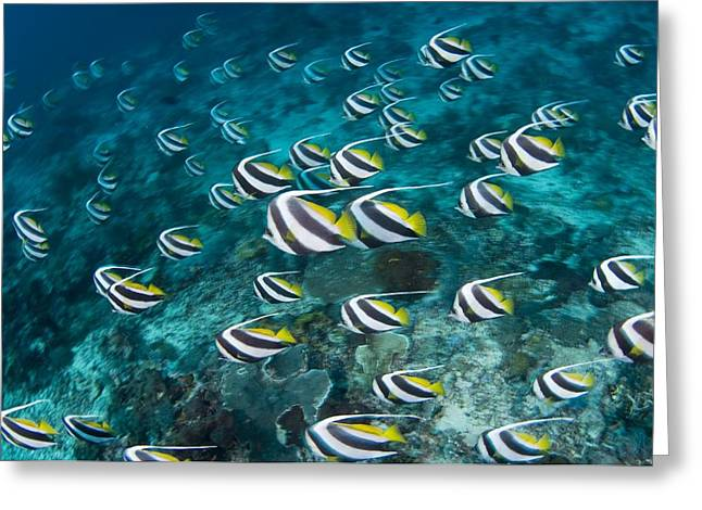 Schooling Greeting Cards - Schooling Bannerfish Greeting Card by Matthew Oldfield