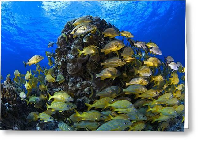 Reef Fish Greeting Cards - Schooling Bluestriped Grunt Haemulidae Greeting Card by Carson Ganci