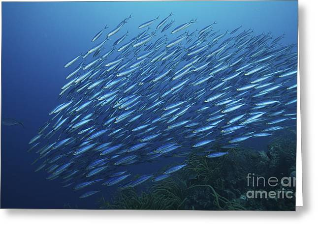 Schooling Boga, Bonaire, Caribbean Greeting Card by Terry Moore